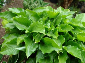Хоста Инвизибл Hosta Invincible