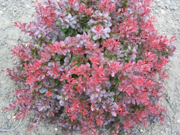 Барбарис Тунберга Атропурпурея Нана 20-25 Berberis thunb. 'Atropurpurea Nana'