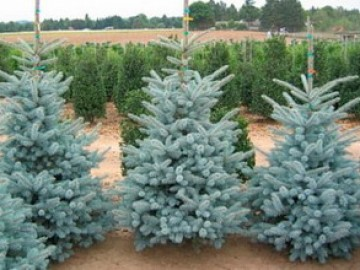 Ель колючая Picea pungens Blue Diamond