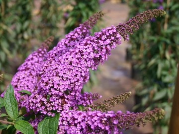 Буддлея Давида иль де Франс 45-60 Buddleja davidii 'Ile de France