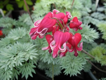 Дицентра гибридная  Кинг оф Хетс Dicentra King of Hearts, купить