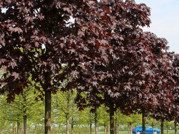 Клен остролистный Роял Ред 10-12  Acer platanoides Royal Red