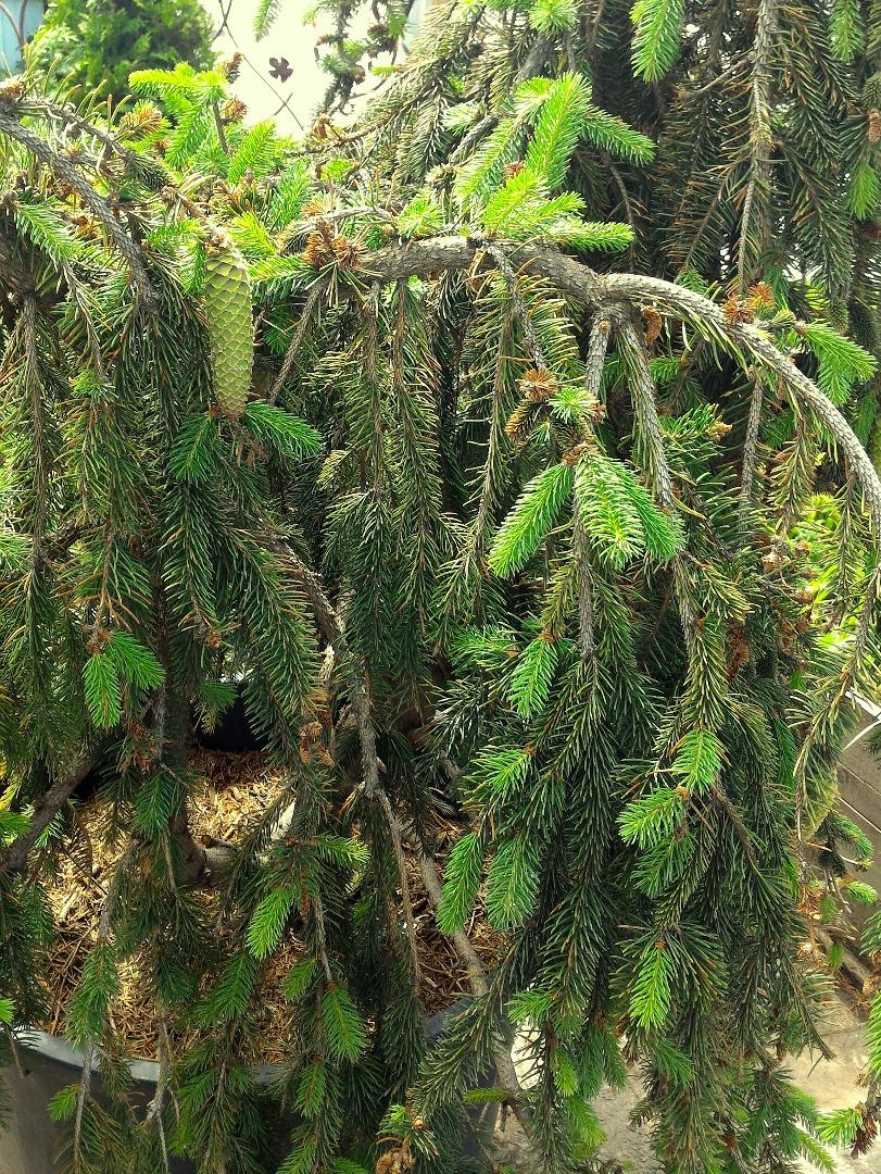 ель обыкновенная инверса Picea Abies Inversa Pendula Zl H 175 200