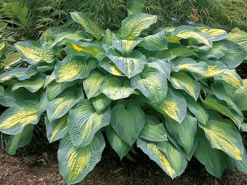 Хоста Пол'с Глори Hosta Paul's Glory