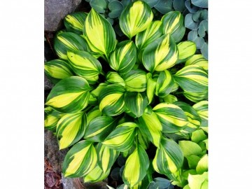 Хоста Рэйнбоу'с Энд Hosta Rainbow's End
