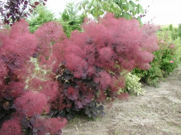 Скумпия кожевенная Роял Пёпл 40-60 Cotinus cog. 'Royal Purple'