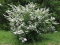 Спирея ниппонская Джун Брайд C3L Spiraea nipp. 'June Bride'